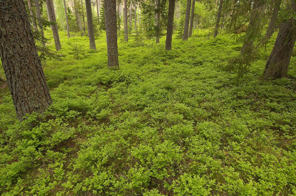 Boreal forest, Bergslagen, Sweden