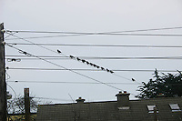 Row of birds on telegraph wire