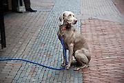 Een hond wacht geduldig voor een winkel in Utrecht.<br /> <br /> A dog is waiting patiently in front of a shop.