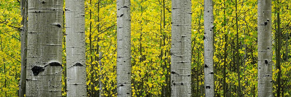 Panoramic view of aspen tree trunks against bright yellow Fall leaves in Utah.