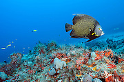 A French Angelfish, Pomacanthus paru, swims over the coral reef offshore Juno Beach, Florida, United States