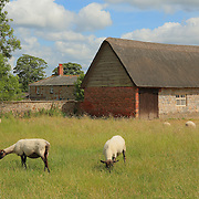 Grazing Sheep And Thatched Roof Barn - Avebury, UK