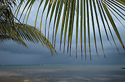 Coconut Palm (Cocos nucifera) leaves<br /> Ambergris Caye<br /> Lighthouse Reef Atoll<br /> BELIZE, Central America