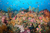 A healthy reef, teeming with colorful hard and soft corals, sponges, and reef fish.<br /> <br /> Shot in Indonesia