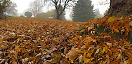 An autumn ground-level panorama under a Silver Maple tree