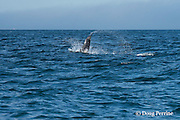 southern resident orca, or killer whale, Orcinus orca, porpoising out of the water, off southern Vancouver Island, Strait of Juan de Fuca, British Columbia, Canada ( Eastern North Pacific Ocean ); #4 in sequence of 4