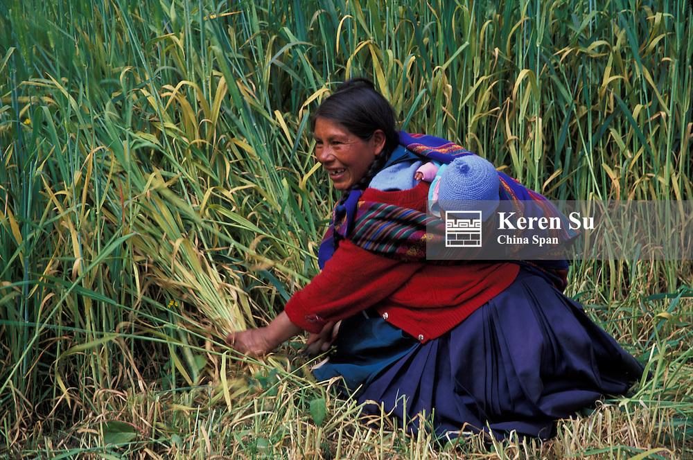 Indian woman harvesting wheat, Sacred Valley, Peru