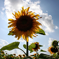 Sunflowers in South Dakota.
