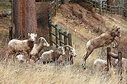 Bighorn Sheep Herd