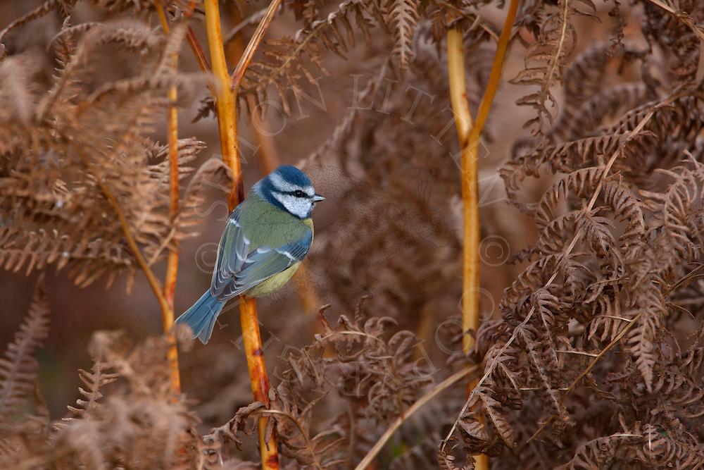 Blue Tit (Parus caeruleus), adult perched in ferns, Autumn, UK.