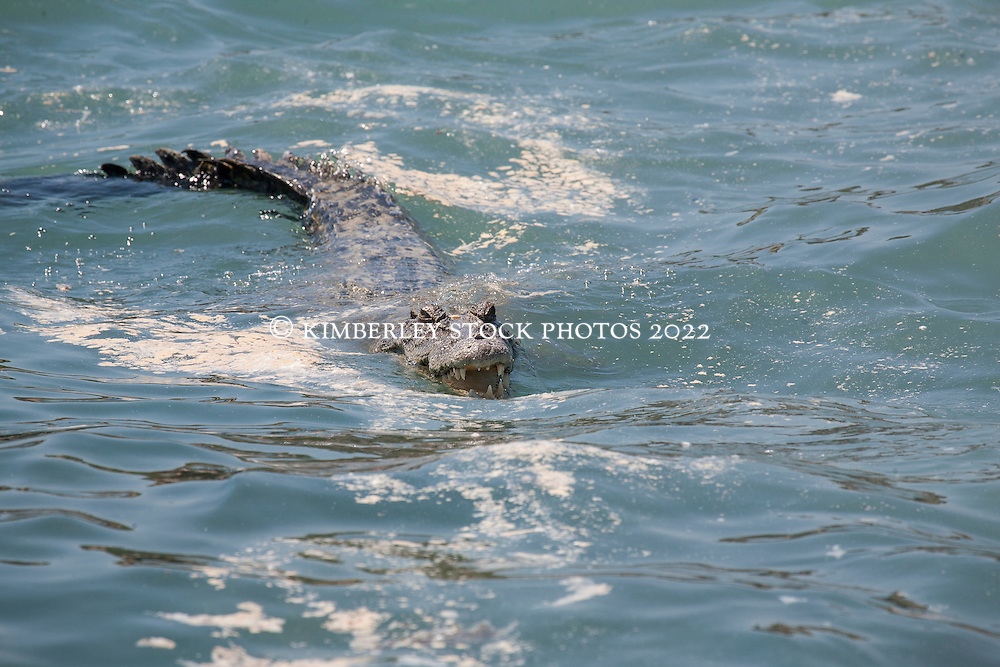 A crocodile waits for chunks of whale meat to float past in Camden Sound after a dead whale washes up on the rocks near Hall Point.