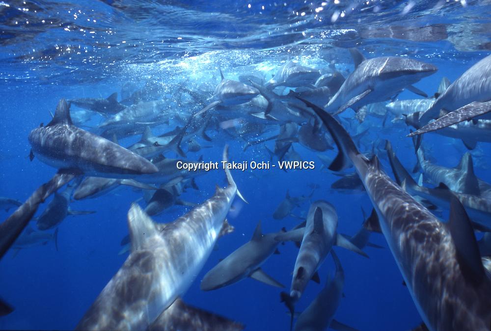 School of Grey reef sharks at Bikini atoll, Marshall Islands