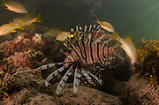 Red Lionfish (Pterois volitans)<br /> Coral Reef Island, Belize Barrier Reef. Second largest barrier reef system in the world.<br /> BELIZE, Central America<br /> INVASIVE SPECIES off east coast of USA, South America and Caribbean