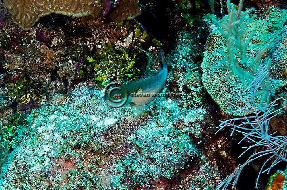 Redband Parrotfish, Sparisoma aurofrenatum, (Valenciennes, 1840), Grand Cayman