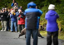 A grizzly bear is surrounded by tourists at the Chilkoot River at the Chilkoot Lake State Recreation Site near Haines, Alaska. The bear was trying to access the nearby hillside following eating salmon on the river.  <br /> <br /> The Chilkoot River outlet of Chilkoot Lake offers some of the best salmon fishing in Southeast Alaska. Four salmon runs are an open invitation for bears to feast on the spawning salmon. At times, the Chilkoot River Corridor has some of the highest bear activity in the state. The Chilkoot River corridor area is extremely narrow with room for an equally narrow road with few pullouts for tourists and fisherman causing traffic and congestion. This creates a serious conflict between humans and bears. This image is a good representation of the problem.<br /> <br /> Care must be taken by visitors to the area to protect themselves and the bears. Bear and human conflicts have been increasing in recent years to the point that a special human free zone was established to give bears access to the river. In addition a bear viewing platform is under development to provide a safer location for visitors to view bears feeding in the river. The area is part of the Chilkoot Lake State Recreational Site located near Haines, Alaska at the head of the Lutak Inlet in the Lynn Canal.<br /> <br /> The Chilkoot River ranks second in popularity for Southeast Alaska freshwater sports fishing. The area is also an important cultural area for the Tlingit people and site of a culture camp.