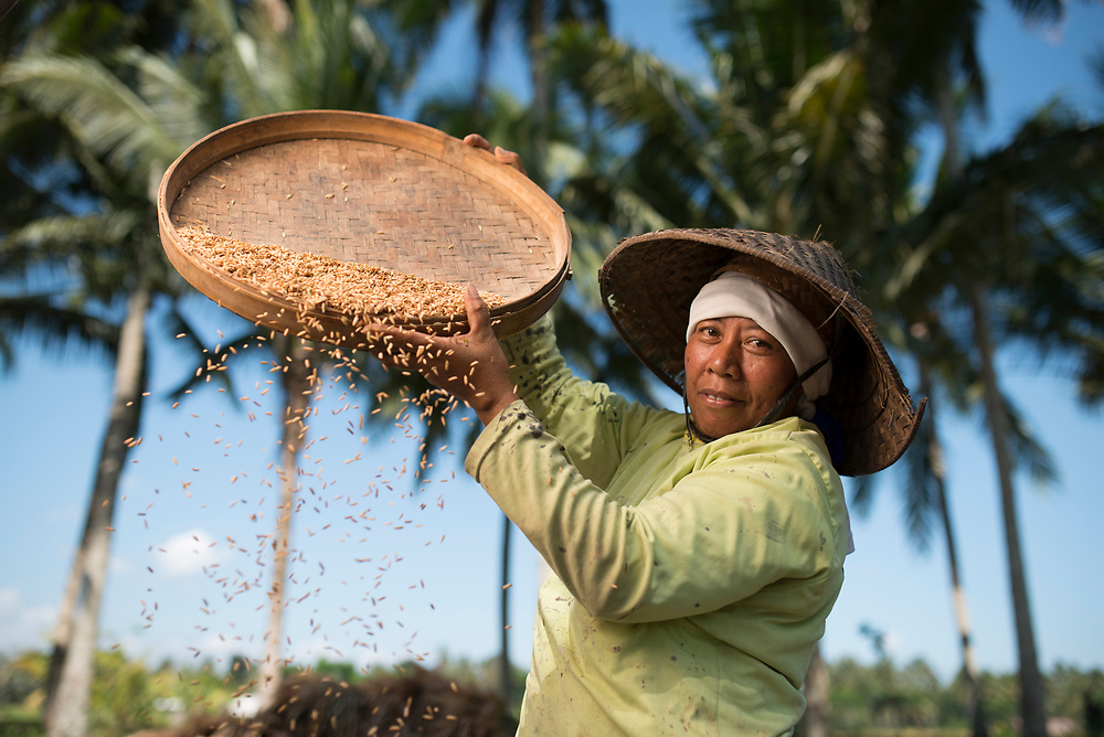 Winnowing rice in the rice paddies among the coconut trees in Luwus village of Bali.