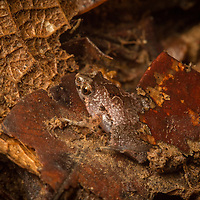 Pitcher plant frog in Borneo - one of the smallest frogs in the world