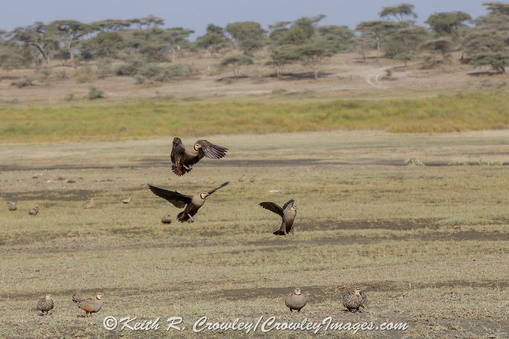 Sandgrouse in east African habitat