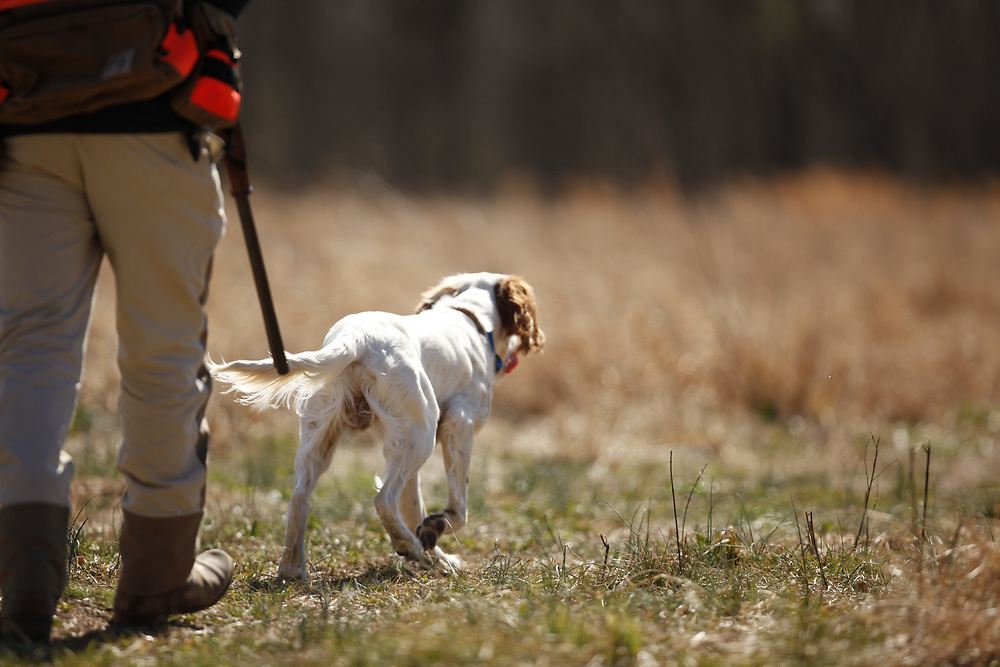 Upland hunting dog training