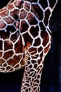 Giraffe at Memphis Zoo.