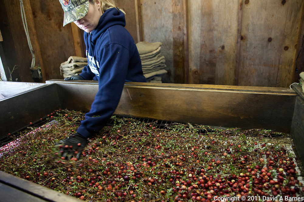 Woman sorting cranberries from vines