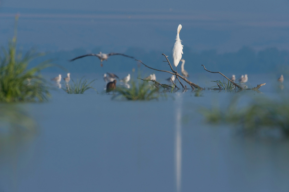 Little egret (Egretta garzetta) in Lake Belau, Moldova