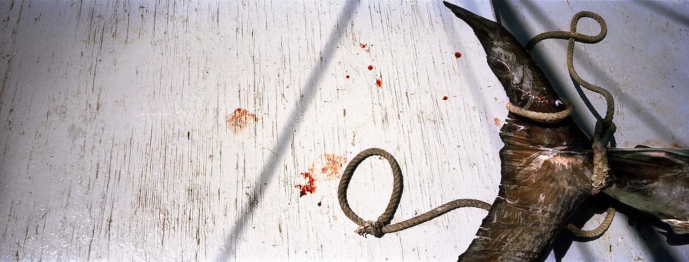 un Pesce spada catturato nello stretto e trasportato in cella frigorifera lungo il viaggio di ritorno. Tra poche ore sar&agrave; gi&agrave; immesso nel mercato. Il pesce Spada dello stretto cos&igrave; pescato &egrave; molto raro e per questo ha un prezzo di vendita elevato. Catturato in questo modo &egrave; dedicato a palati sopraffini. Di diverso sapore da quello pescato con la rete.<br /> <br /> The swordfish can be heavy 400 Kg.