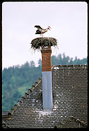 White storks (C. ciconia) nest atop chimney of city hall in the town of Munster, Alsace. France
