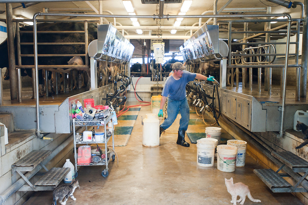 Dairy farmers working on milking equipment while dairy cows are being milked