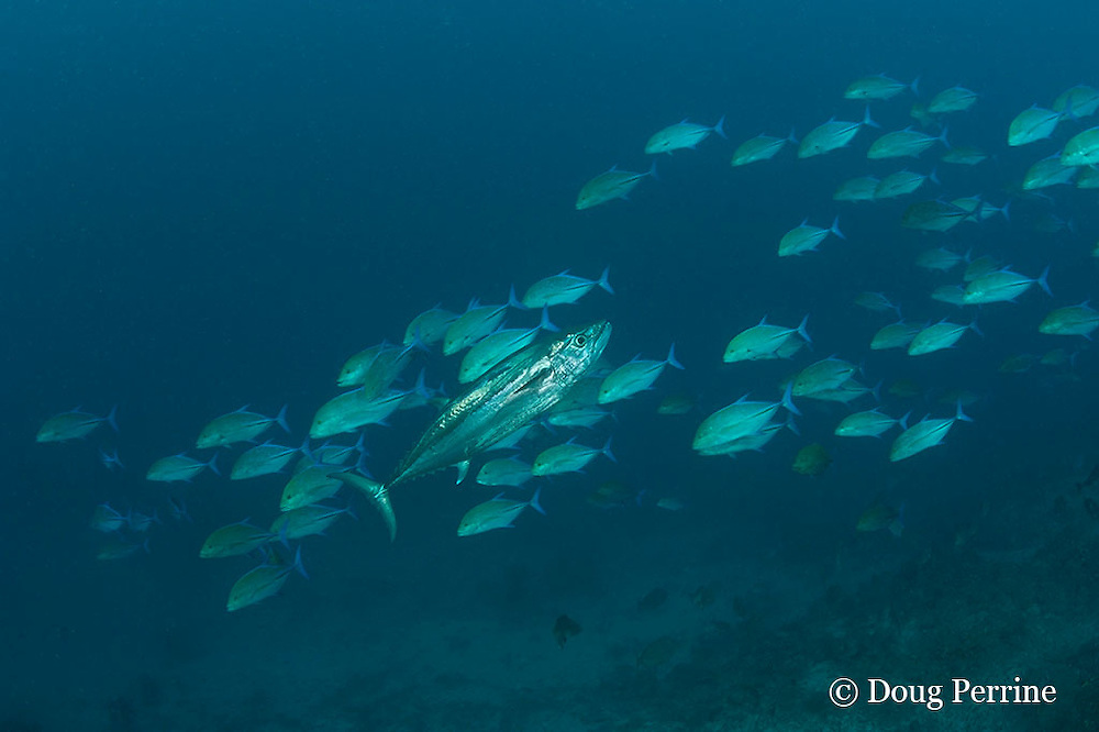 dogtooth tuna, Gymnosarda unicolor, and blue-fin trevally or bluefin jacks, Caranx melampygus, Daravandhoo Thila, Baa Atoll, Maldives ( Indian Ocean )
