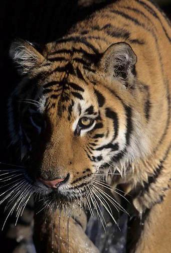 Bengal Tiger, (Panthera tigris) Inhabits India. Captive Animal.