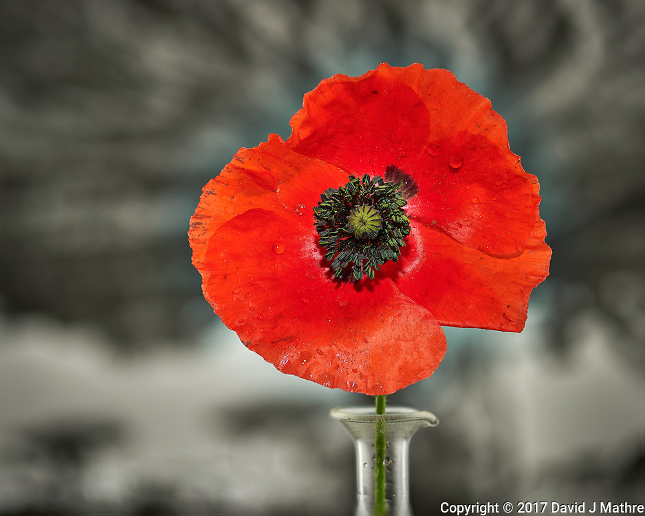 First Red Poppy flower this year. Backyard spring nature in New Jersey. Composite of 40 focus stacked images taken with a Nikon Df computer and 105 mm f/2.8 VR macro lens (ISO 100, 105 mm, f/4, 1/200 sec) and SB-910 flash (TTL, EV 0). Kirk linear track 1 mm intervals over 4 cm. Composite created using Helicon Focus (Method B, R=8, S=4)