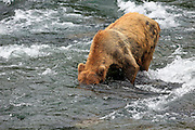 A Brown bear looking underwater for salmon in the Brooks River, at Katmai National Park