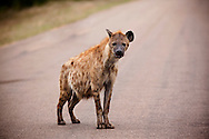 The spotted hyena is the largest member of the Hyaenidae, and is further physically distinguished from other species by its vaguely bear-like build, its rounded ears, its less prominent mane, its spotted pelt, its more dual purposed dentition, its fewer nipples and the presence of a pseudo-penis in the female. It is the only mammalian species to lack an external vaginal opening.[