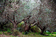 Olive tree plantation on Crete Island, Greece