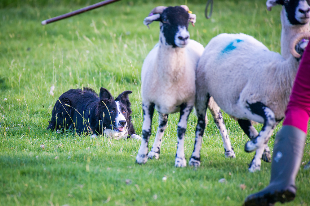 Sheep dog patiently awaits command while sheep run away, Yorkshire Dales, UK