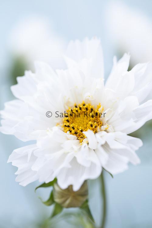 Cosmos bipinnatus 'Double Click Snow Puff' - garden cosmos