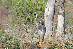 A Brolga (Grus rubicunda) or Australian Crane on Mt Hart Station on the Gibb River Road in Western Australia's Kimberley region.