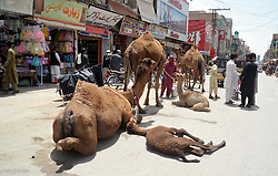 April 27, 2018 - Pakistan - QUETTA, PAKISTAN, APR 26: Nomad people selling camel milk on a street to earn their .livelihood for support their families, at roadside in Quetta on Thursday, April 26, 2018. (Credit Image: © PPI via ZUMA Wire)