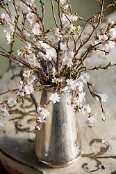 Arrangement of Prunus autumnalis in silver jug - winter flowering cherry