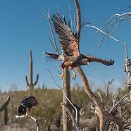 SONORAN DESERT RAPTORS