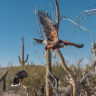 Harris's hawk pair or associates in Sonoran Desert habitat, © 2012 David A. Ponton
