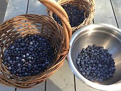 Caterpillar Hill Wild Maine Blueberry Haul, Castine, Maine, US