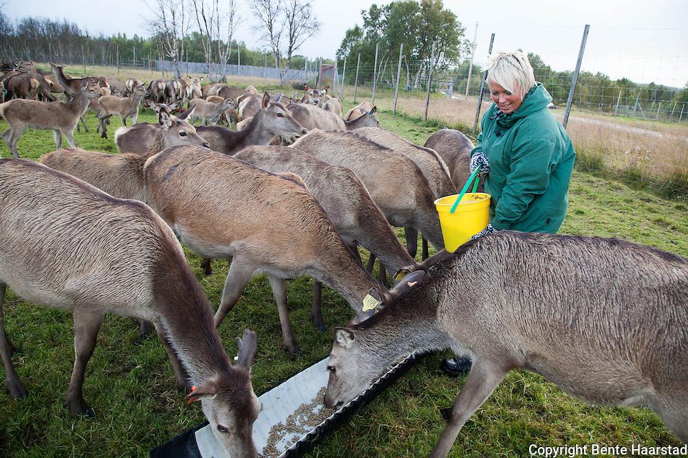 Deer farm in Røros, Norway. Torsvoll Hjort driver oppdrett av hjort på Rørosvidda utenfor Røros.