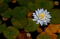 A beautiful white water lily in full bloom.
