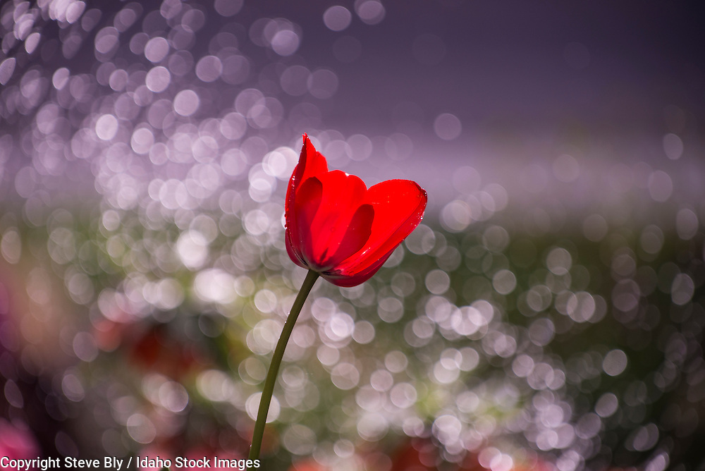Flowers, Close-up of Red Tulip backlit by a floral back ground and water droplets.USA