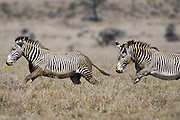 Grevy's Zebra<br /> Equus grevyi<br /> Stallions chasing each other<br /> Lewa Wildlife Conservancy, Northern Kenya
