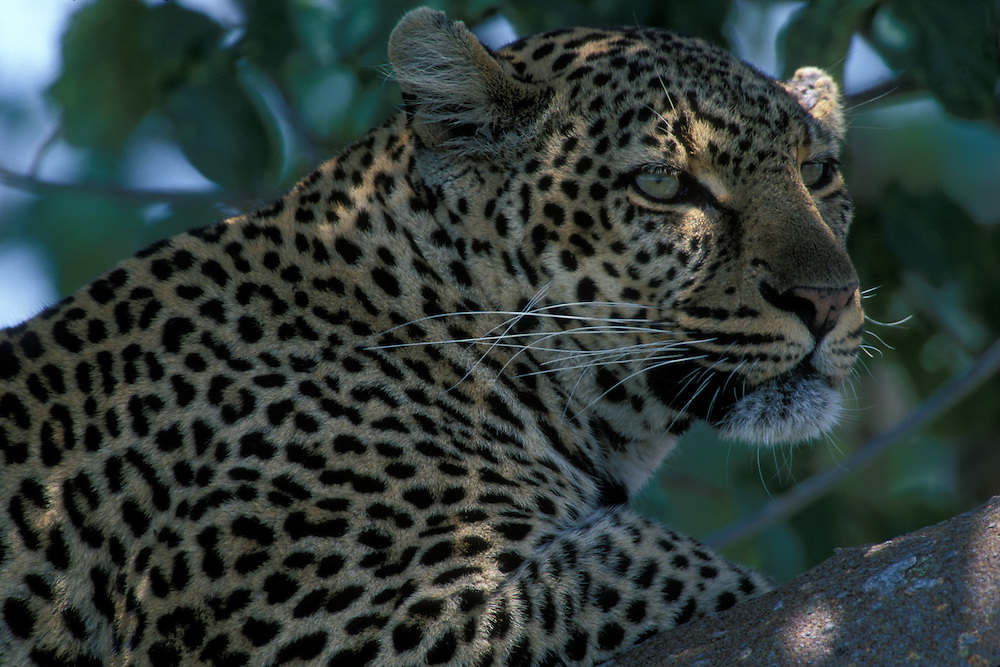 Africa, Kenya, Masai Mara Game Reserve, Portrait of  Leopard (Panthera pardus) resting in tree branch along Telek River
