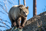 Young Wyoming Grizzly Bear on ridgetop