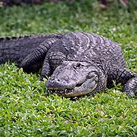 American Alligator crawling, Florida, USA